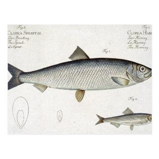 Herring (Clupea Harengus) (Fig. 1) and Sprat (Clup Postcard