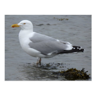 Herring Gull Blank Postcard