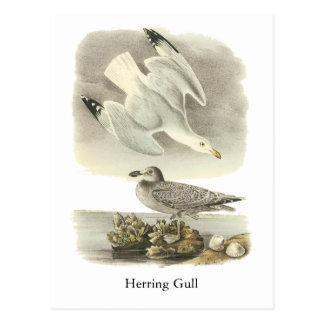 Herring Gull, John Audubon Postcard