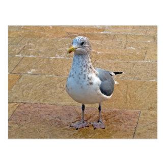 Herring Gull Postcard