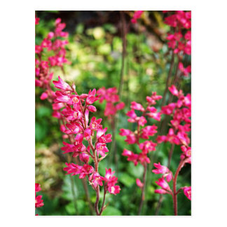 Heuchera In Pink Postcard