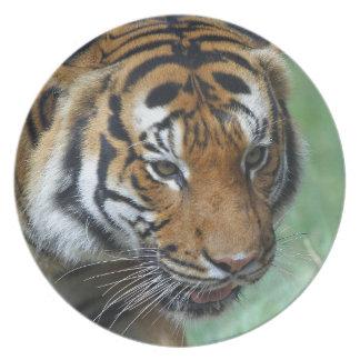 Hi-Res Malay Tiger Close-up Party Plate