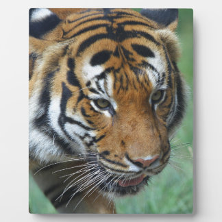 Hi-Res Malay Tiger Close-up Plaque