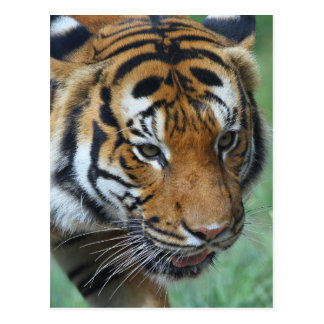Hi-Res Malay Tiger Close-up Postcard