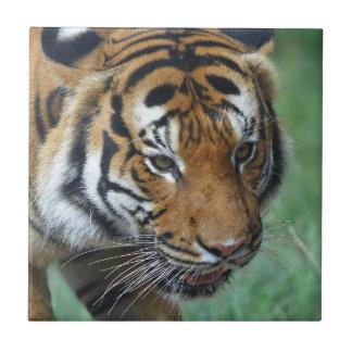 Hi-Res Malay Tiger Close-up Tile