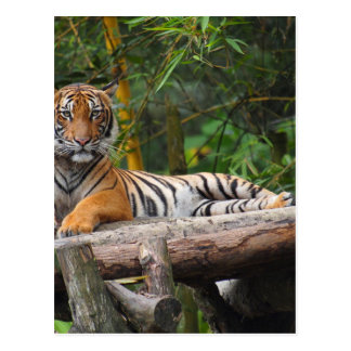 Hi-Res Malay Tiger Lounging on Log Postcard