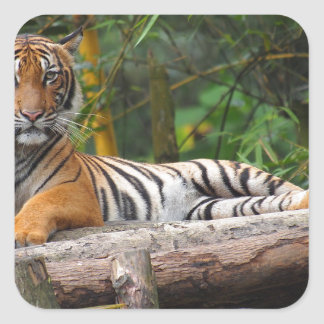 Hi-Res Malay Tiger Lounging on Log Square Sticker