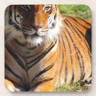 Hi-Res Malayan Tiger Coaster