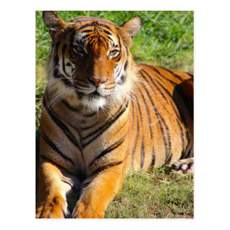 Hi-Res Malayan Tiger Postcard