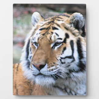 Hi-Res Stoic Royal Bengal Tiger Plaque
