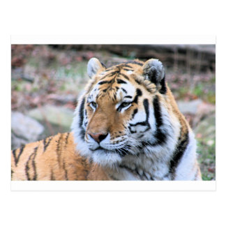 Hi-Res Stoic Royal Bengal Tiger Postcard