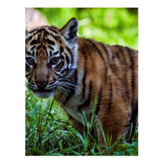 Hi-Res Sumatran Tiger Cub Postcard