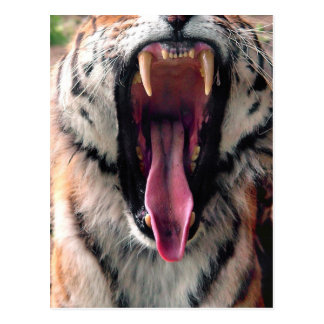 Hi-Res Tiger Bearing Jaws Postcard