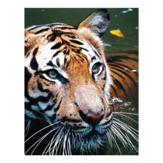 Hi-Res Tiger in Water Letterhead