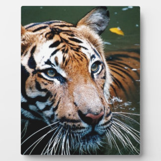 Hi-Res Tiger in Water Plaque