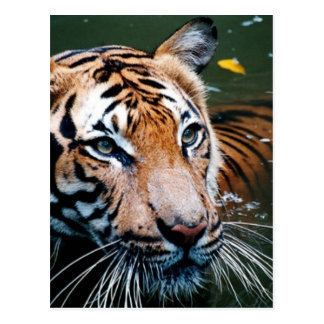 Hi-Res Tiger in Water Postcard