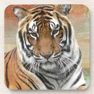 Hi-Res Tigres in Contemplation Coaster