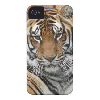 Hi-Res Tigres in Contemplation iPhone 4 Case-Mate Case