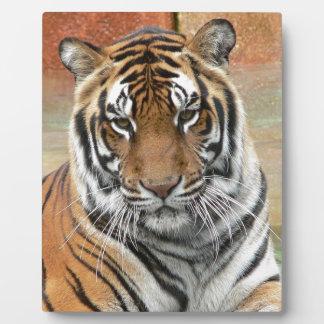 Hi-Res Tigres in Contemplation Photo Plaque