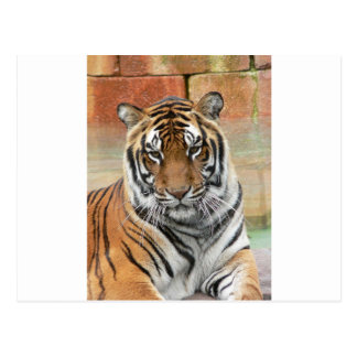 Hi-Res Tigres in Contemplation Postcard