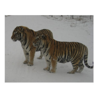 Hi-Res Two Siberian Tigers Postcard