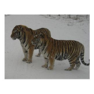 Hi-Res Two Siberian Tigers Postcard