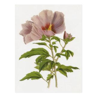 Hibiscus syriacus postcard