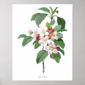 HIGHEST QUALITY Botanical print of Apple Blossom