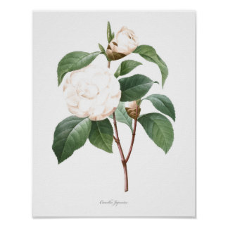 HIGHEST QUALITY Botanical print of Camellia