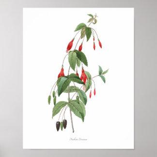 HIGHEST QUALITY Botanical print of Fuchsia