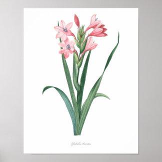 HIGHEST QUALITY Botanical print of Gladiolus