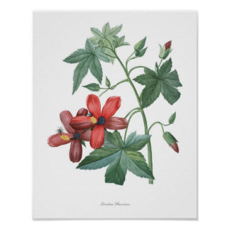 HIGHEST QUALITY Botanical print of Lavatera