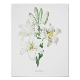 HIGHEST QUALITY Botanical print of Madonna Lily