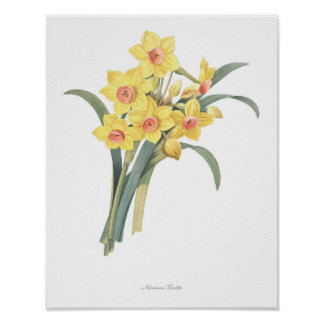 HIGHEST QUALITY Botanical print of Narcissus