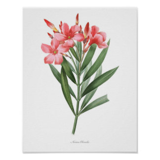 HIGHEST QUALITY Botanical print of Oleander