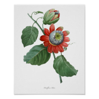 HIGHEST QUALITY Botanical print of Passiflora