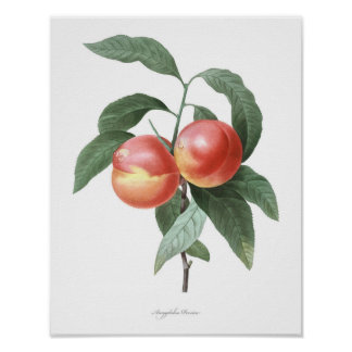 HIGHEST QUALITY Botanical print of Peach