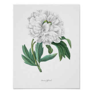 HIGHEST QUALITY Botanical print of Peony