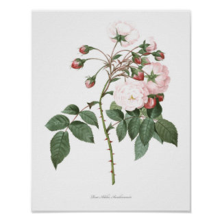 HIGHEST QUALITY Botanical print of Rose Adelia