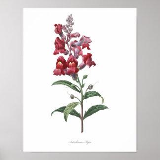 HIGHEST QUALITY Botanical print of Snapdragon