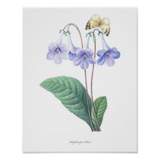 HIGHEST QUALITY Botanical print of Streptocarpus