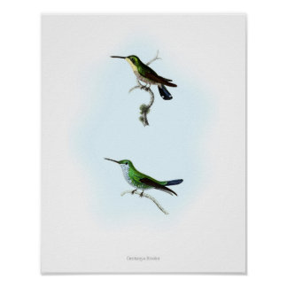 HIGHEST QUALITY poster of Trochilus Hummingbirds