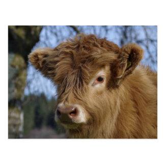 Highland Calf Postcard