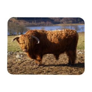 Highland Cattle Bull, Scotland Magnet