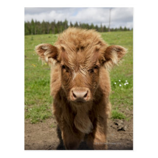 Highland Cattle calf, near Dufftown, Postcard