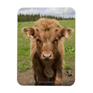 Highland Cattle calf, near Dufftown, Rectangular Photo Magnet