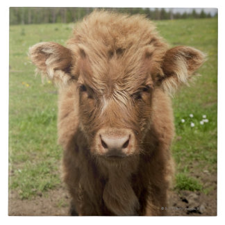 Highland Cattle calf, near Dufftown, Tile