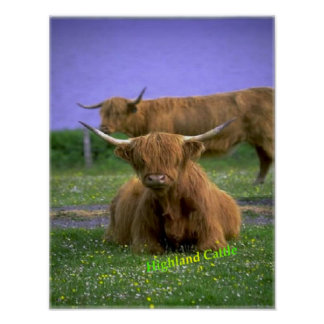 Highland-Cattle poster
