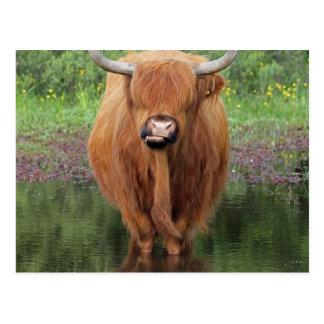 Highland cow postcard