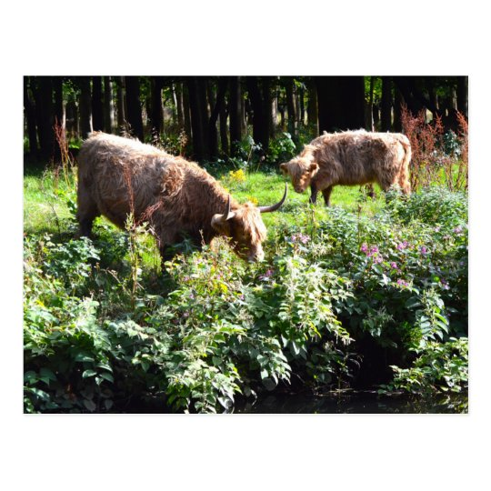 Highland Cows Grazing. Glasgow, Scotland. Postcard